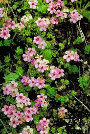 Primulaceae in Flora of China @ efloras.org