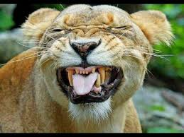 Image result for funny lion pics