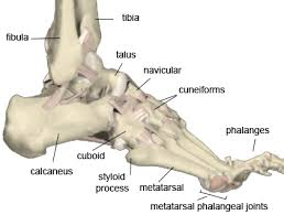 foot and ankle anatomy images and diagramsfoot and ankle anatomy