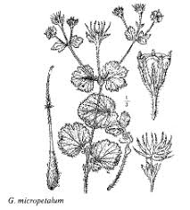 Sp. Geum micropetalum - florae.it