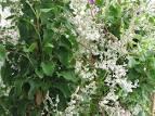 lace-flower vine