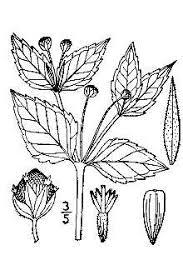 Plants Profile for Galinsoga parviflora (gallant soldier)