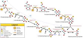glycolysis biology explanation   wyzant resourcesglycolysis flow chart image