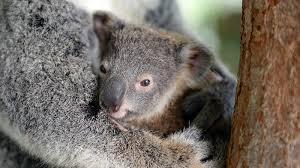 koala joey new jpg