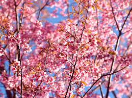 8 <b>Beautiful</b> Japanese Words For <b>Cherry Blossom</b> Season - Tandem
