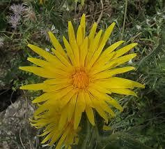 Scolymus grandiflorus (Large-flowered Golden Thistle ...