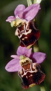 Ophrys holosericea - Wikipedia