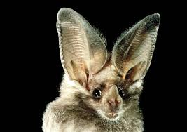 Image result for Mammals' ears