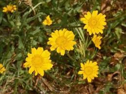 Coleostephus myconis - Wikipedia