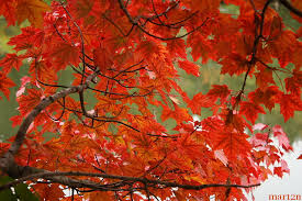 Image result for Red Sunset Maple Tree