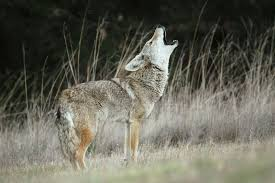 Image result for coyote image