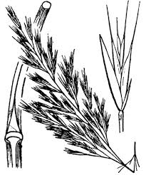 Festuca sicula C.Presl - An interactive guide to the flora of the ...