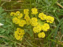 Euphorbia nicaeensis - Wikipedia