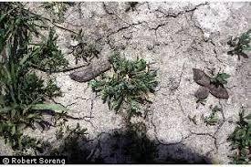 Plants Profile for Sclerochloa dura (common hardgrass)