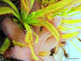 """Wide Leaf"" D. capensis"