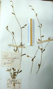 Lectotype of Silene neglecta in Herbarium Tenore, NAP!, designated ...