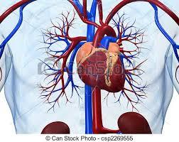 Resultado de imagen de corazon humano dibujo anatomia