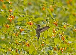 Image result for hummingbirds on jewelweed