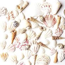 Sea Shells Mixed Beach Seashells - Various Sizes up ... - Amazon.com