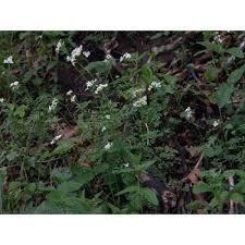Genere Murbeckiella - Flora Italiana