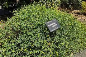 Euphorbia spinosa – Ballyrobert Gardens