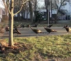 Why Did These Turkeys Circle Around a <b>Dead Cat</b>?