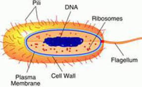 prokaryotic cell  s  functions  amp  diagramlabeled drawing of prokaryotic cell