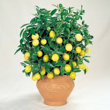 lemon tree x: lemon tree a a  lemon tree a a