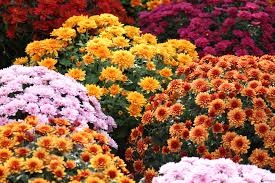The Meaning of the Chrysanthemum <b>Flower</b> - Eastern Floral ...