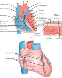 structures of the heart