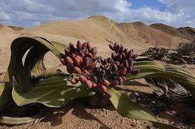 Welwitschia Mirabilis Вельвичия Мирабилис: растение странное и удивительное