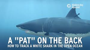 how to track a great white shark how to track a great white shark