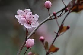 400+ Free <b>Plum Blossom</b> & Spring Images - Pixabay