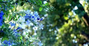 Plumbago: coltivazione, fioritura e potatura - GreenStyle