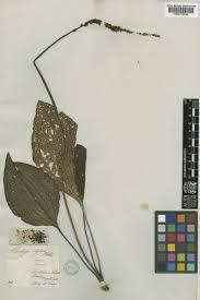 Plantago cornuti Gouan | Plants of the World Online | Kew Science