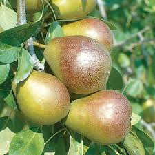 Image result for seckel pear