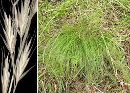 Festuca heterophylla Lam. - Sistema informativo sulla flora ...
