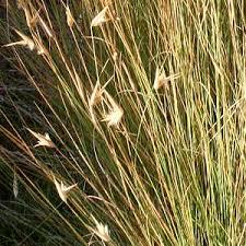 Lygeum spartum at San Marcos Growers