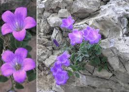 Campanula morettiana Rchb. - Portale sulla flora del Parco Naturale ...