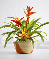 these are really cool plants says fleming barnhardt you actually dont water the soil you just water inside the top of the plant and let the water best office plant no sunlight