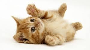 strange jobs involving animals simply senia ginger domestic kitten felis catus rolling on back playing