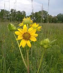 Giant Sunflower (Helianthus giganteus)