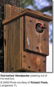 Nesting Box Woodworking Plan  Red bellied WoodpeckersRed bellied Woodpecker peeking out of his nest box