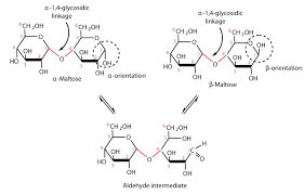 disaccharidesfigure    an equilibrium mixture of maltose isomers