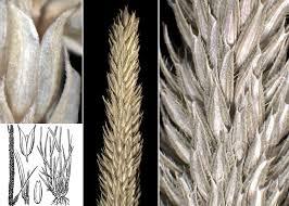 Phleum phleoides (L.) H.Karst. - Sistema informativo sulla flora ...