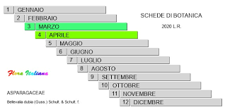 Bellevalia dubia [Giacinto siciliano] - Flora Italiana