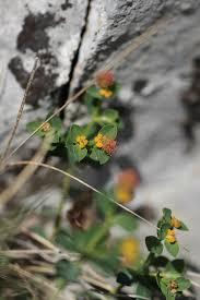 Euphorbia fragifera