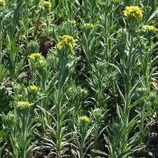 FIBIGIA CLYPEATA SEEDS - Plant World Seeds