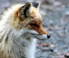 <b>Голодная лиса</b> вышла к людям в Измайловском парке | Измайлово