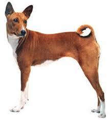 Πως αποκαλείται ο σκύλος Basenji;